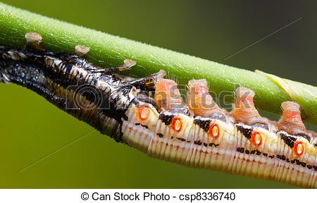 Stock Photography of Molting hawks moth caterpillar.