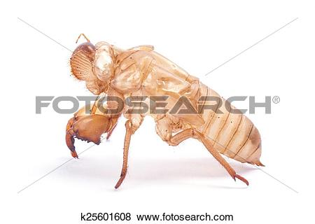 Pictures of Cicada molt k25601608.