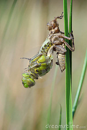 Molting Dragonfly Royalty Free Stock Images.