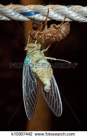 Stock Photo of Macro photo of cicada (Tibicen pruinosus) during.