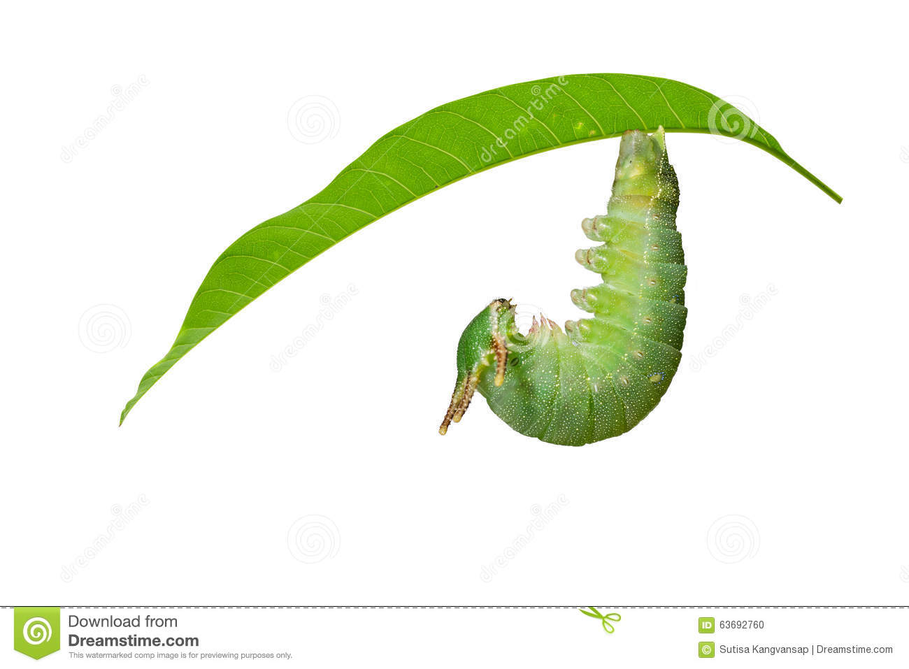 Caterpillar Of Tawny Rajah Butterfly Before Molting To Pupa Stock.