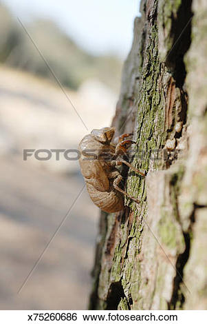 Stock Images of molting cicada on a tree x75260686.