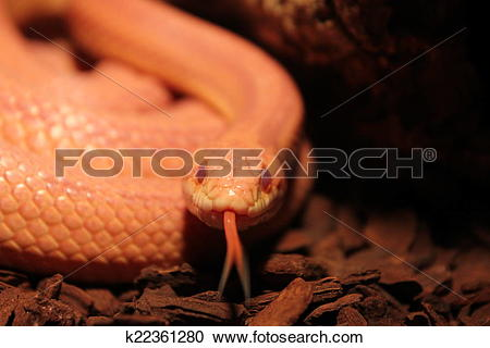 Stock Photography of Grass Snake is molting.