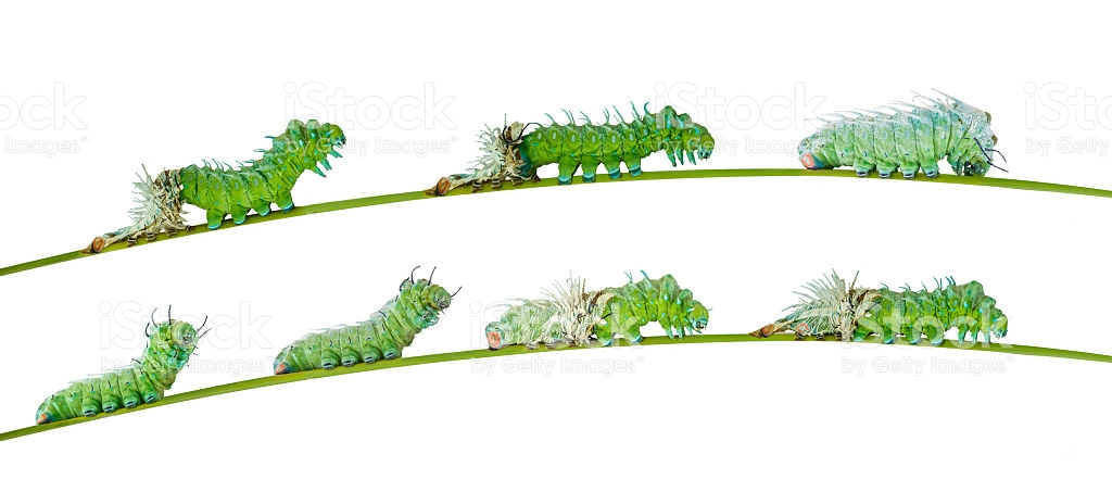Isolated Molting Caterpillar Of Atlas Butterfly stock photo.