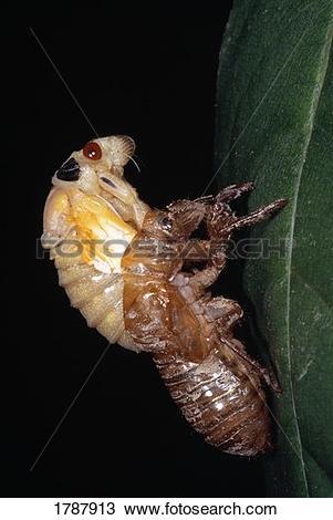 Stock Photo of Closeup bug molting exoskeleton 1787913.
