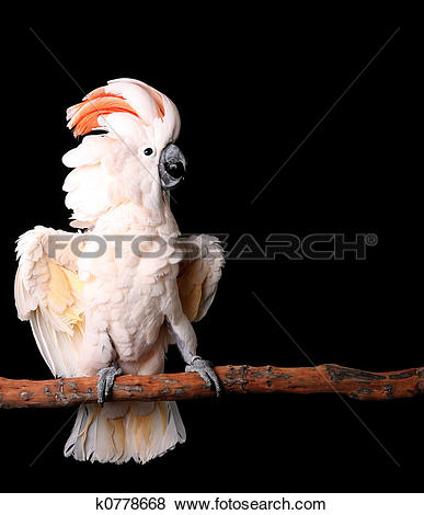 Pictures of Moluccan Cockatoo With His Wings Out k0778668.