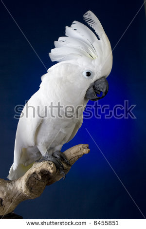 Clipart moluccan cockatoo white background.