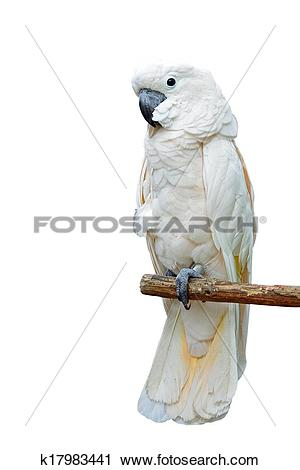 Stock Photography of Moluccan Cockatoo k17983441.