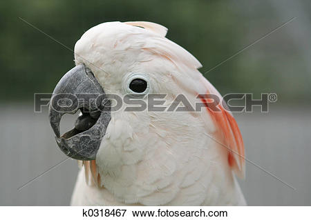 Picture of Moluccan Cockatoo k0318467.