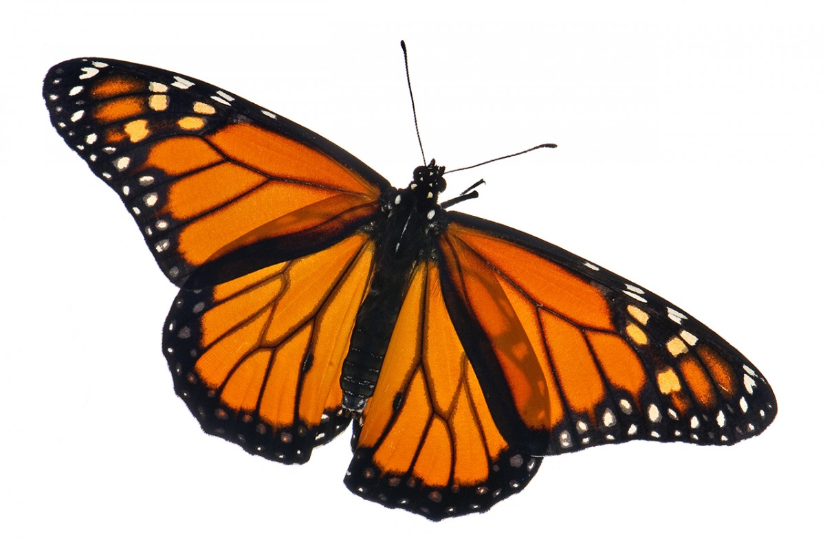 Scientists retrace monarch\'s toxin.