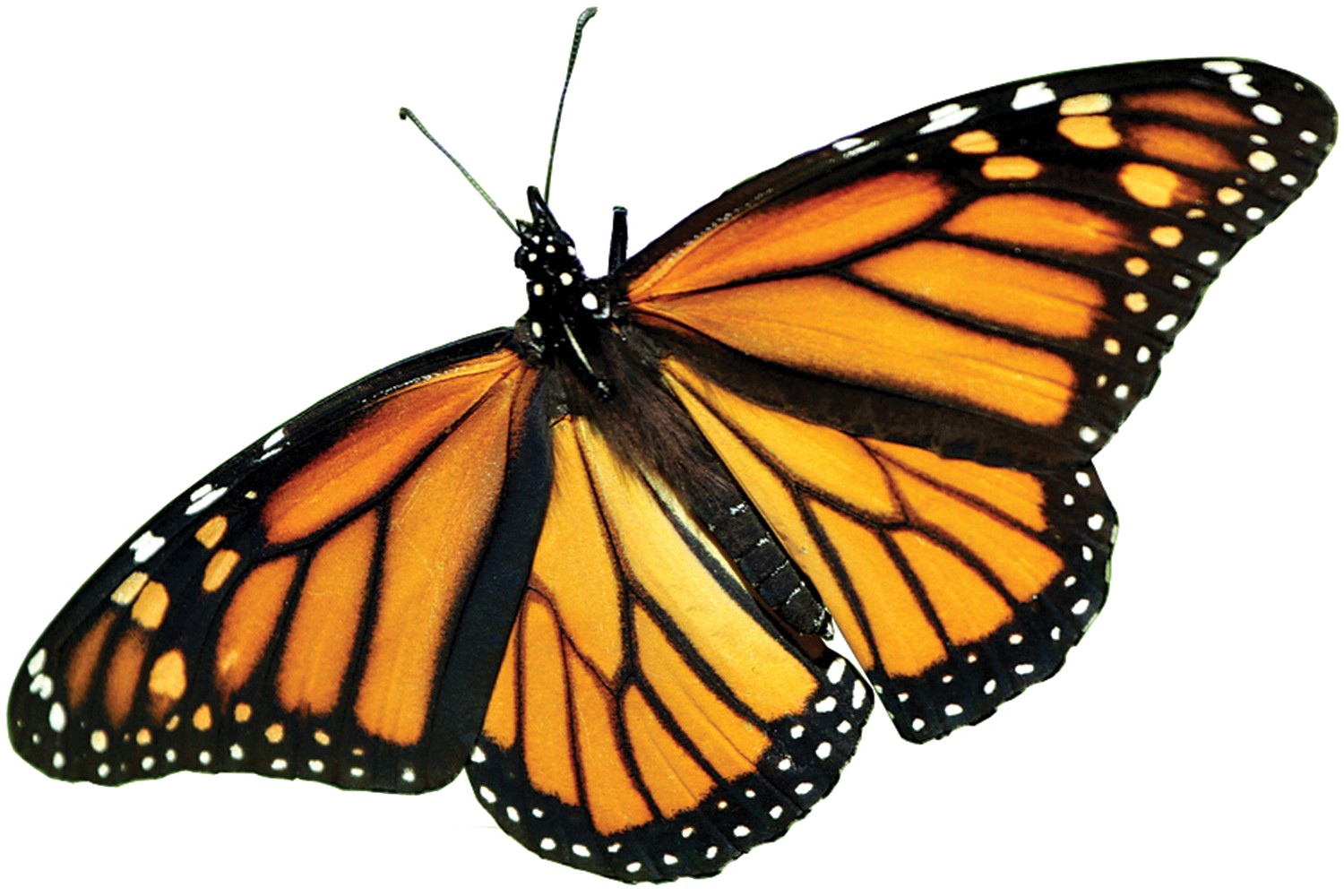 Monarch Butterfly PNG Picture.