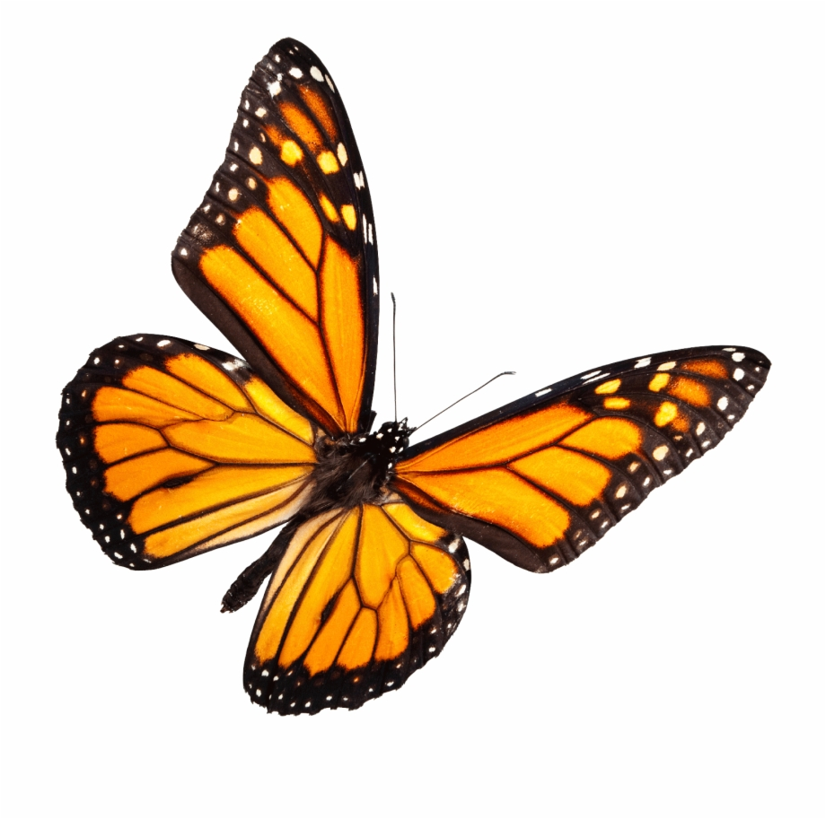 Monarch Butterfly Free PNG Images & Clipart Download.