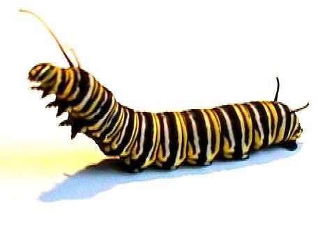 Monarch Caterpillar Clipart.