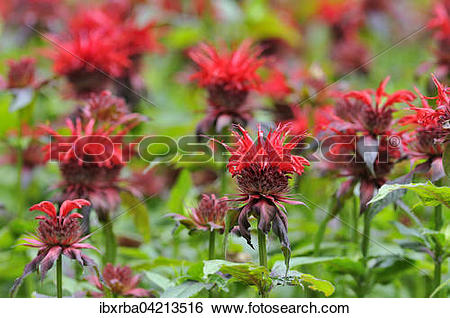 Stock Images of Bee balm (Monarda didyma), North Rhine.