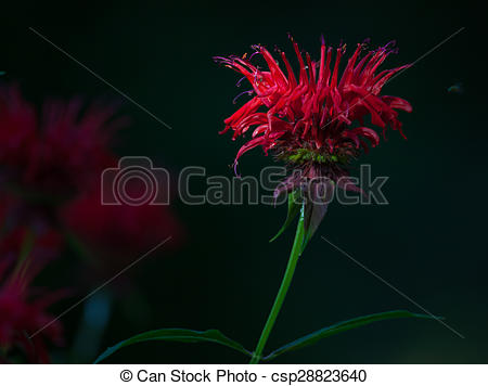 Stock Photo of Red Bee Balm flower (Monarda) with a dark.