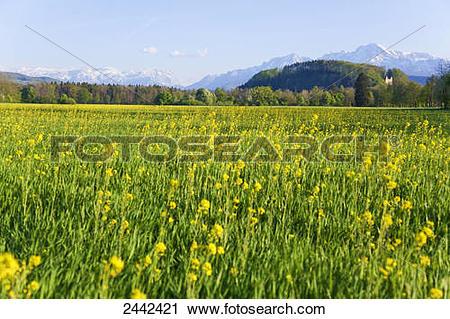 Stock Photography of Oilseed Rape (Brassica Napus) crop growing in.