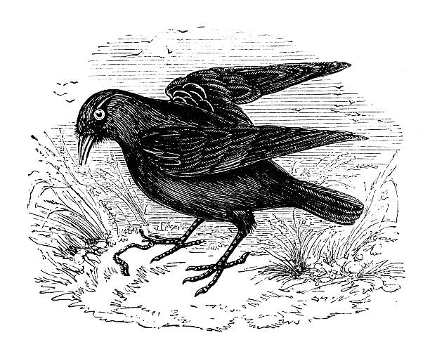 Antique Illustration Of Western Jackdaw (Corvus Monedula) Clip Art.