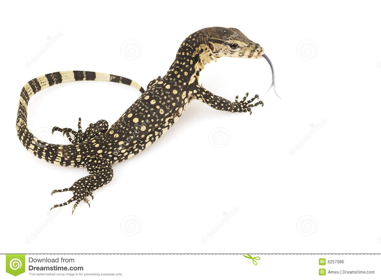 Asian Water Monitor Lizard Royalty Free Stock Image.