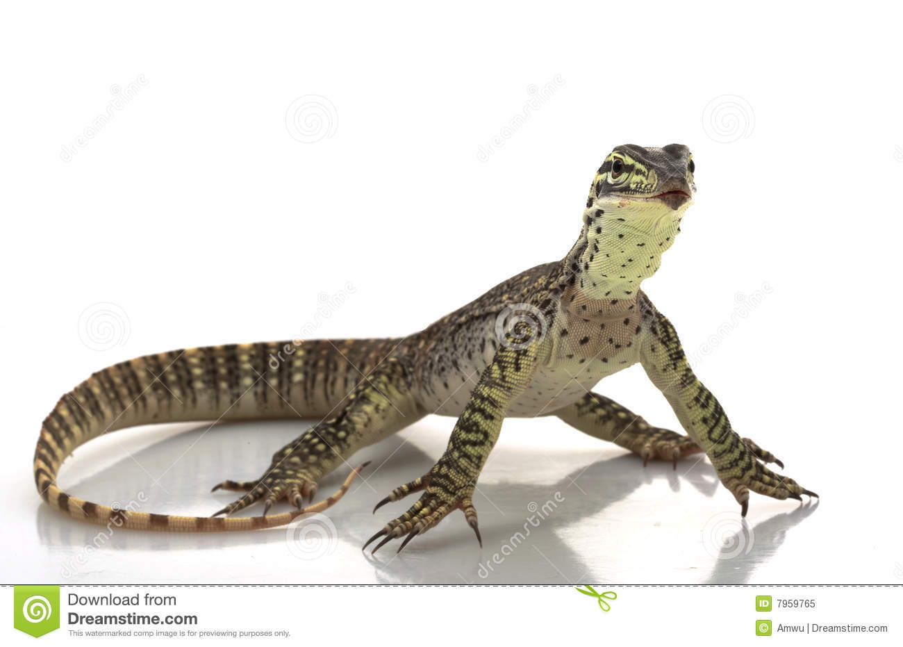 Argus Monitor Lizard Royalty Free Stock Photo.