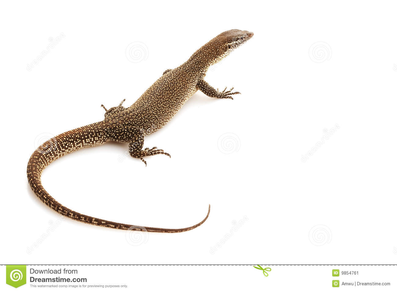 Timor Monitor Lizard Royalty Free Stock Photo.