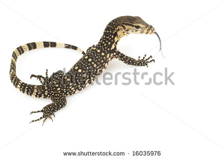 Monitor Lizard Stock Images, Royalty.