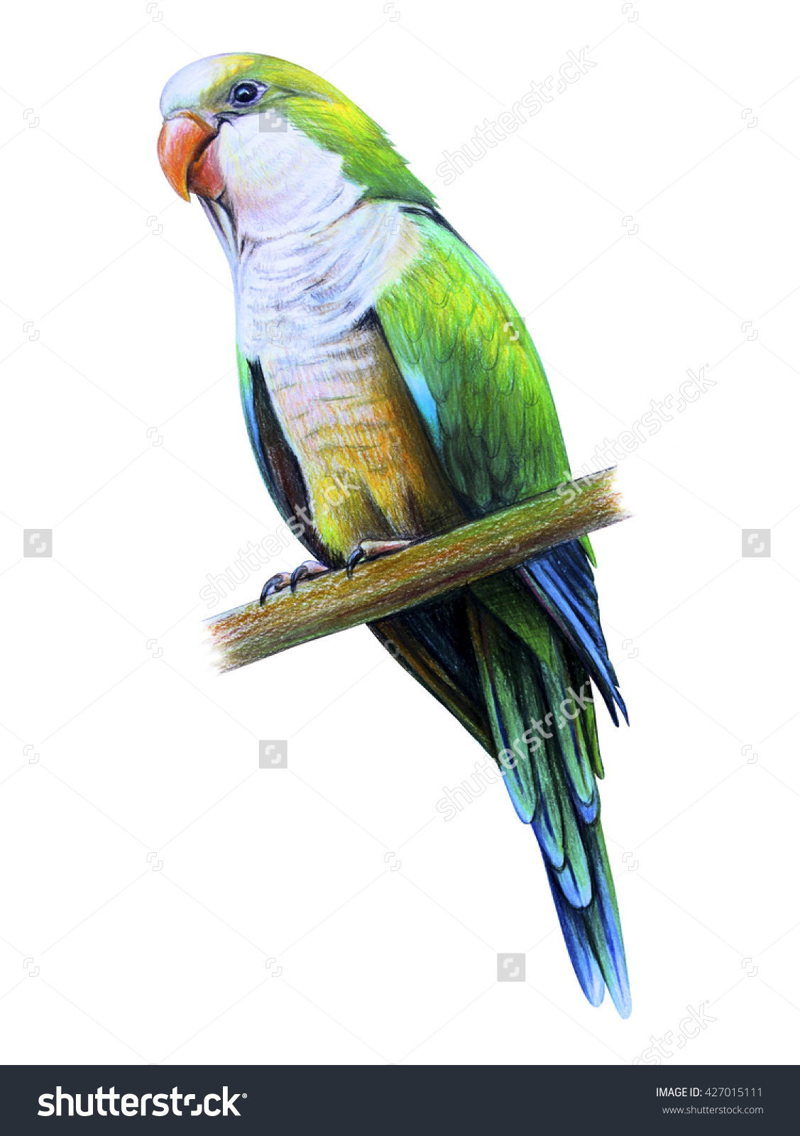 Amazonian Parrot Drawing Monk Parakeet Stock Illustration.