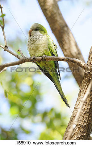 Stock Photography of Monk Parakeet on a branch / Myiopsitta.