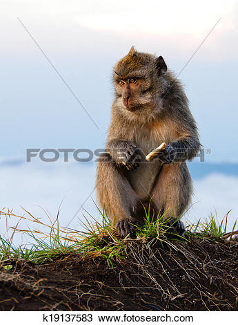 Stock Photo of Mountain Monkey sitting and eating biscuit.