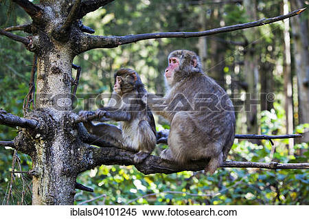 Stock Image of Japanese Macaques, also Snow Monkeys (Macaca.