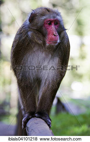 Pictures of Japanese Macaque, also Snow Monkey (Macaca fuscata.