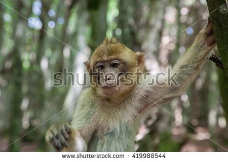 Berber Monkey Stock Photos, Royalty.