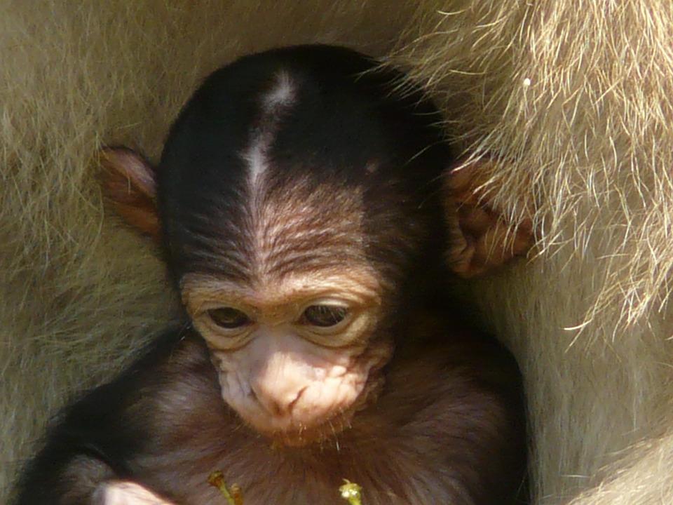Monkey, Baby.