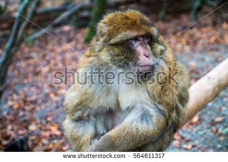 One Monkey Looking Grumpy Monkey Forest Stock Photo 564611317.