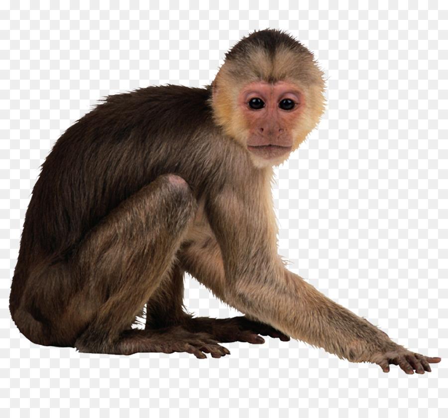 Monkey PNG Transparent Images 9.
