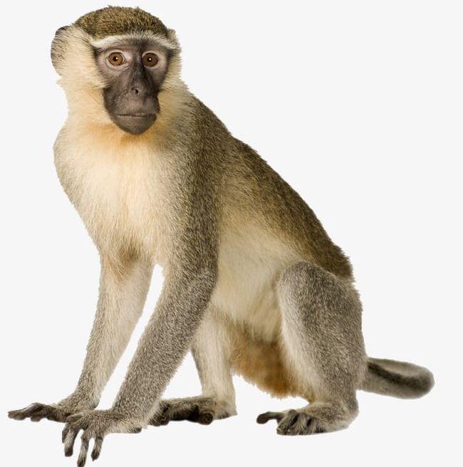 Monkey PNG, Clipart, Animal, Monkey, Monkey Clipart, Monkey.
