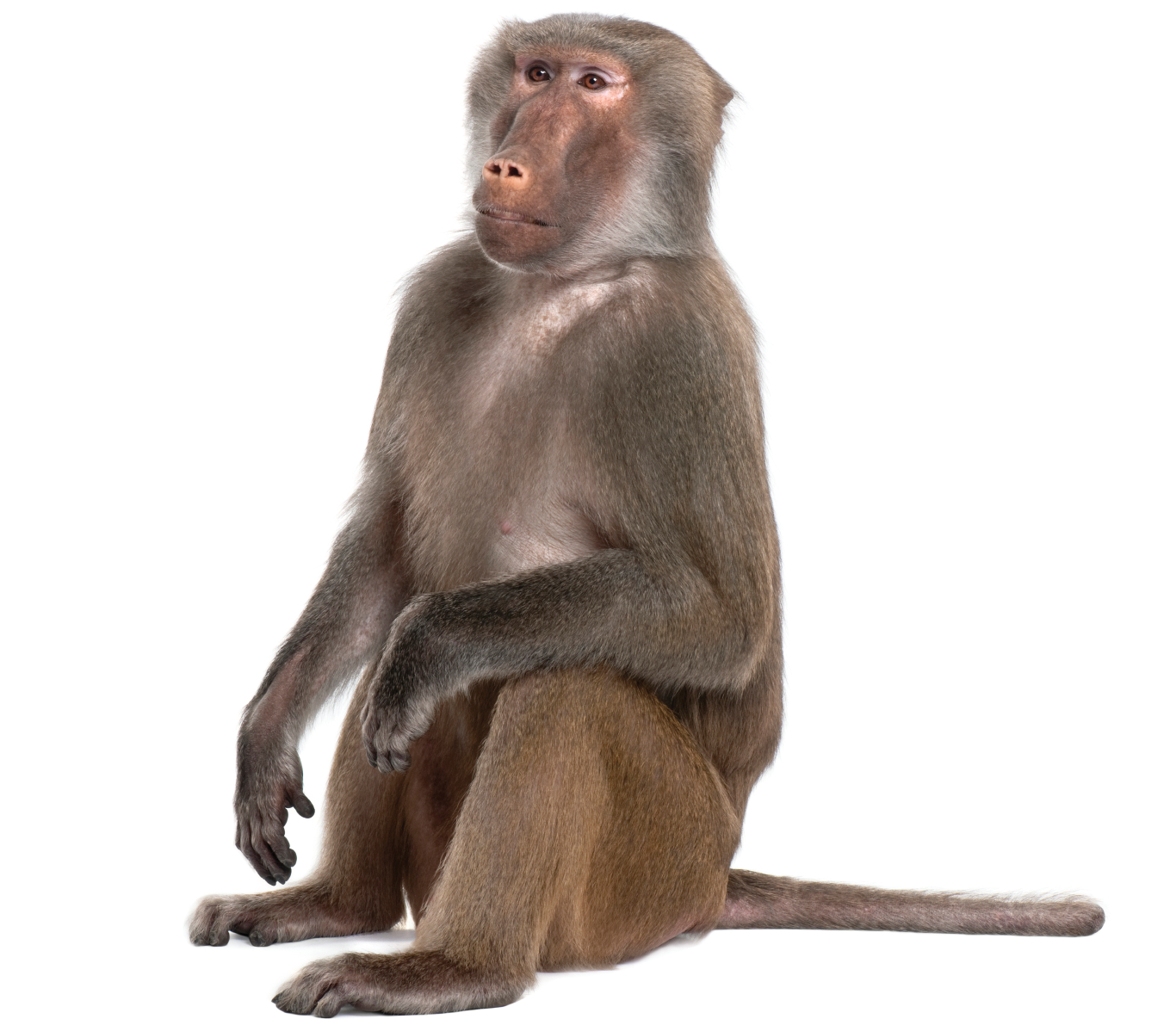 Portable Network Graphics Monkey Baboons Mandrill Primate.
