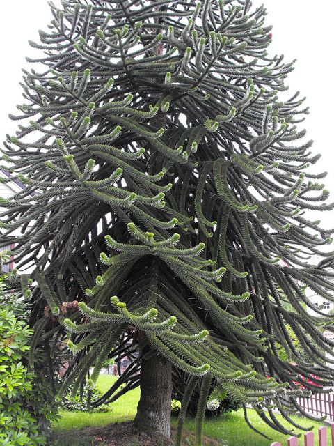 Monkey Puzzle Tree, Bergen, Norway . We had one of these on the.