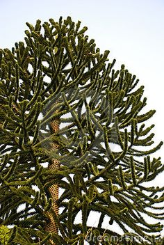 Saw a monkey puzzle tree at Butchart Gardens in Victoria.