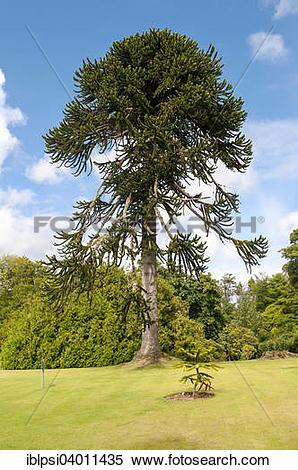 "Stock Image of ""Monkey Puzzle Tree (Araucaria araucana), Dunvegan."