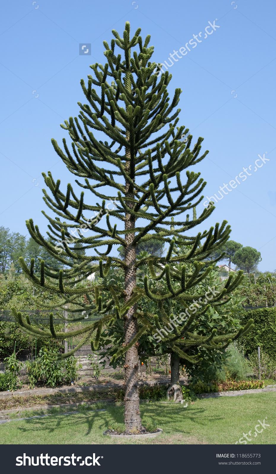 Araucaria Araucana Monkey Puzzle Tree Stock Photo 118655773.