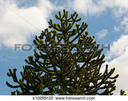 Stock Photography of Monkey Puzzle Tree k10299120.