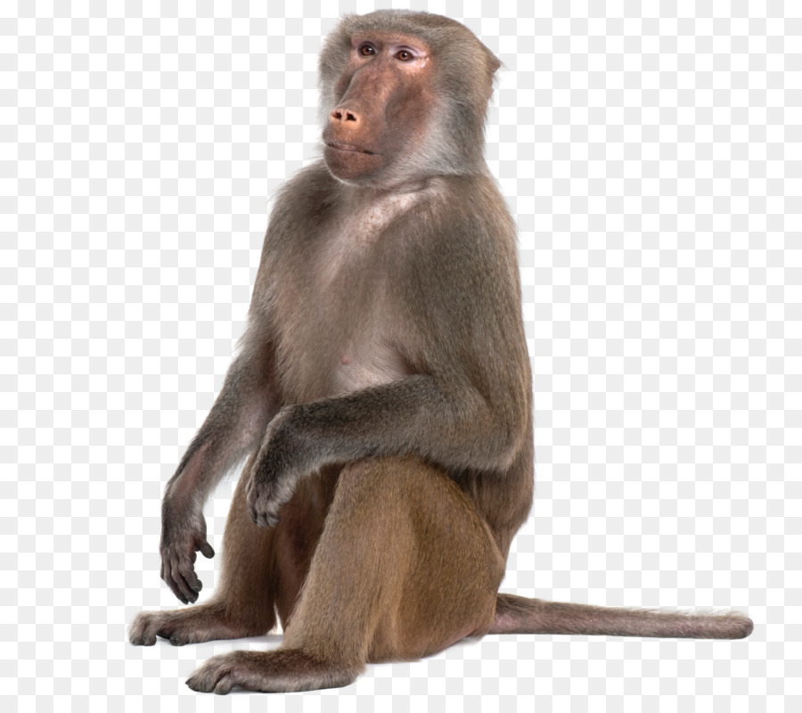 Free Monkey Png Transparent, Download Free Clip Art, Free.