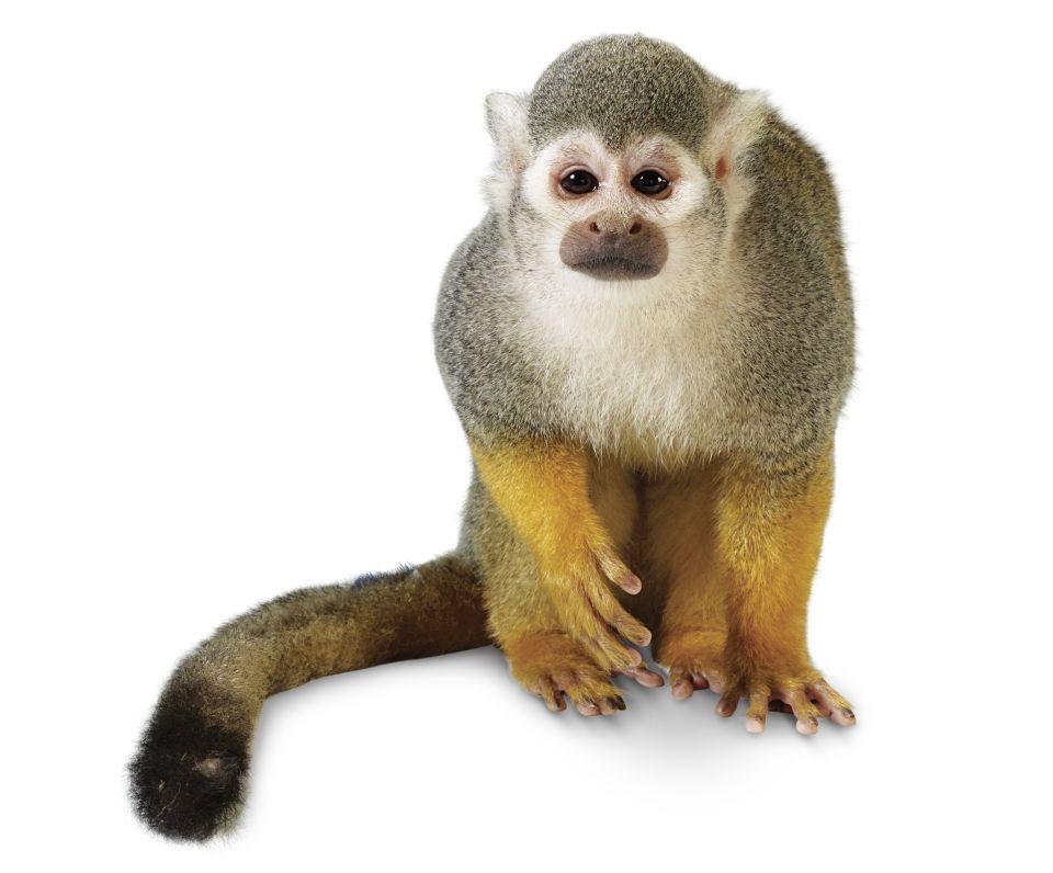 Monkey PNG HD Transparent Monkey HD.PNG Images..