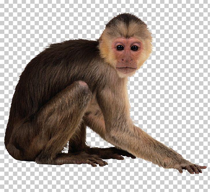 Capuchin Monkey Desktop PNG, Clipart, Animal, Animals.