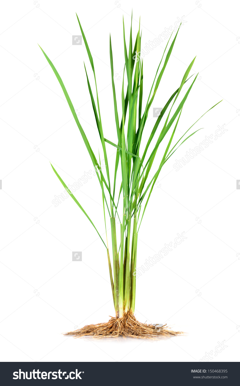 Anatomy Monocotyledonjasmine Rice Plant Stock Photo 150468395.