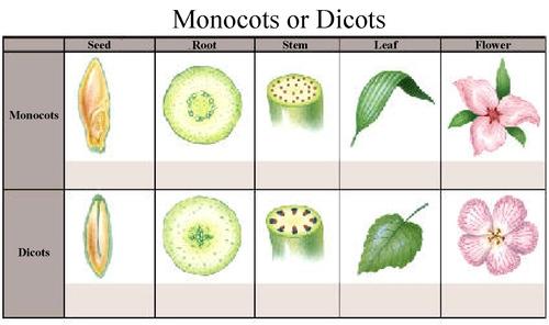 Ask a Farmer — Monocots vs. Dicots.