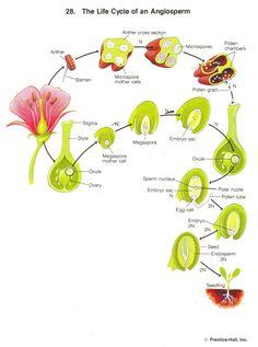 monocot versus dicot seeds.