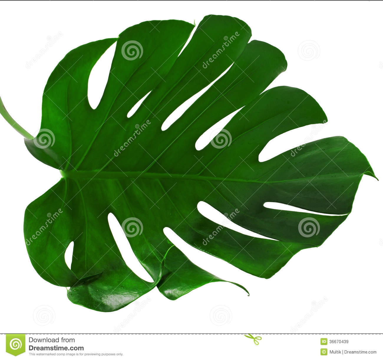 Leaf Of Monstera Plant Royalty Free Stock Images.