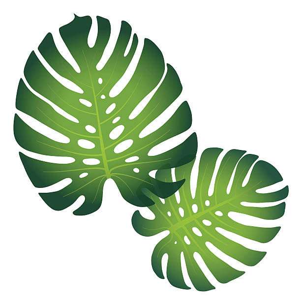 Monstera Deliciosa Clip Art, Vector Images & Illustrations.