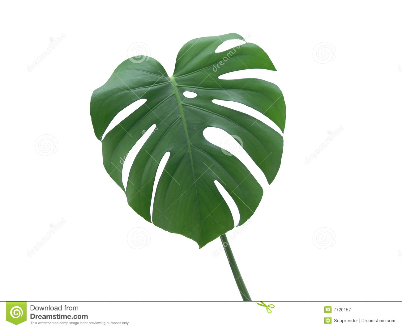 Monstera Deliciosa Leaf Royalty Free Stock Photography.